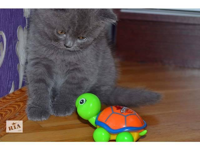 котята шотландские прямоухие с фото купить