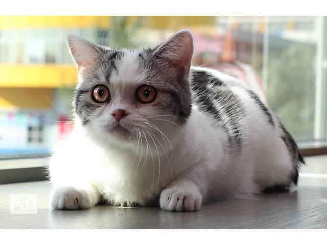 бу Шотландские котята, питомник Colorit в Донецке