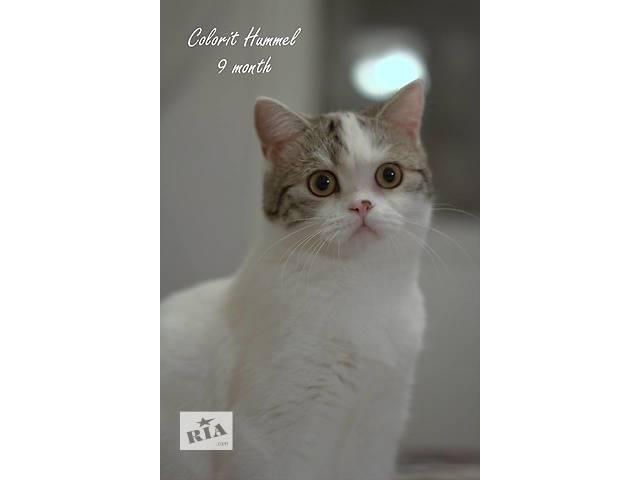 Шотландские котята, питомник Colorit- объявление о продаже  в Донецке