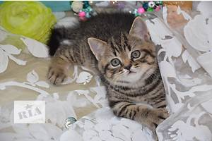Шотландські кошенята