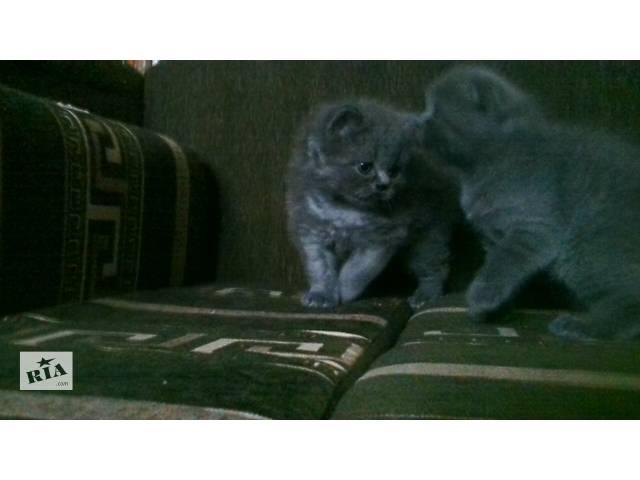 продам Шотландские котята бу в Киеве
