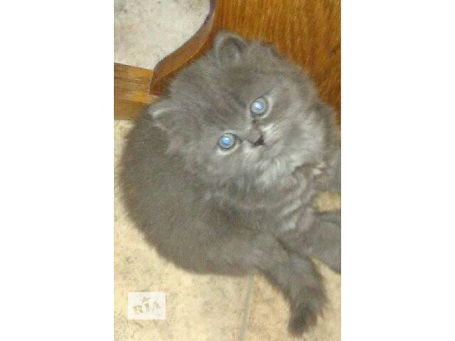 купить бу Шотландские котята в Киеве