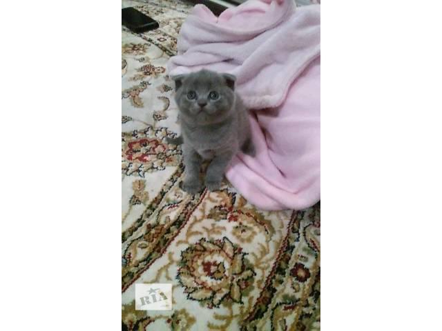 шотландские котята- объявление о продаже  в Черновцах