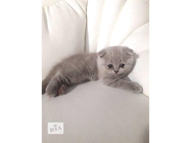 купить бу Шотландские котята в Одессе