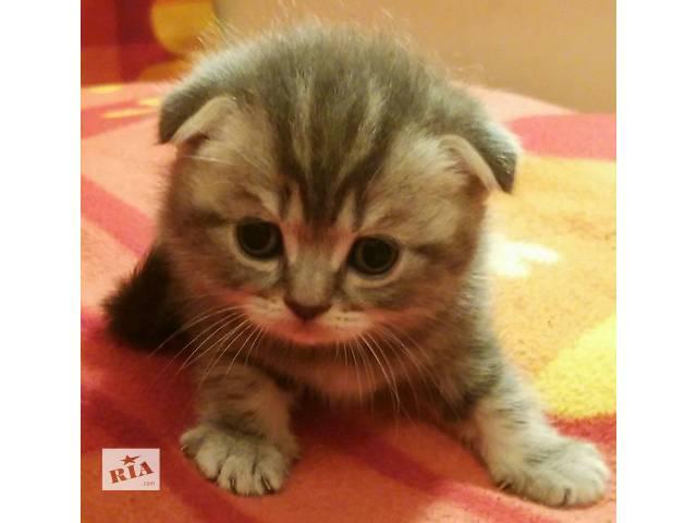 купить бу Шотландские плюшевые котята в ласковые руки в Сумах