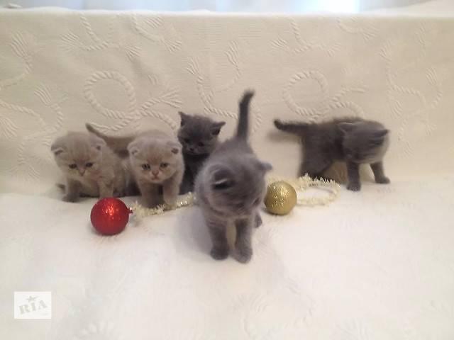 продам Шотландские вислоухие,прямоухие котята-скоттиш фолд и скоттиш страйт,голубого и лилового окраса бу в Черкассах