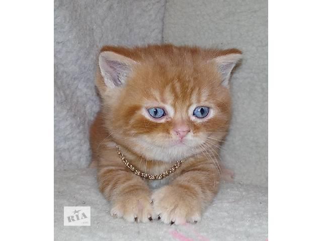 Шотландские котята: хайленд фолд и страйт, скоттиш фолд и страйт- объявление о продаже  в Днепре (Днепропетровске)