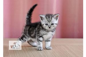 Шотландские котята красивого мраморного окраса! Питомник!