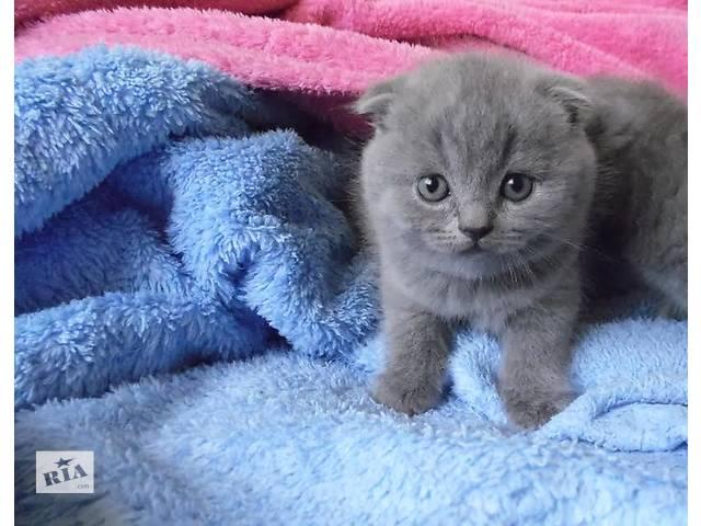 продам Шотландские котята вислоухие (Скоттиш-фолд)  бу в Виннице