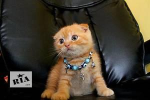 Шотландские котята вислоухие и прямоухие (Скоттиш-фолд)