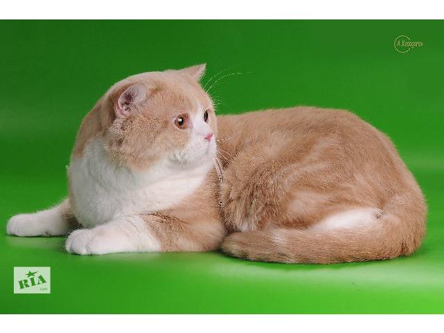 купить бу шотландский кот на вязку в Киеве