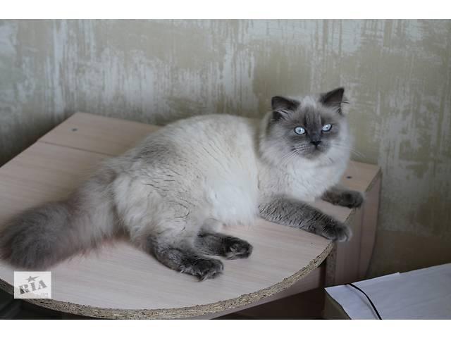 Шотландский кот приглашает на вязку- объявление о продаже  в Одессе