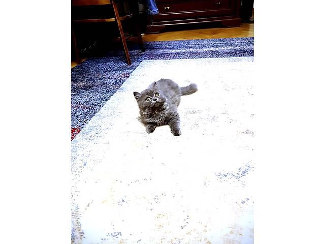 Шотландский котенок хайленд страйт- объявление о продаже  в Киеве