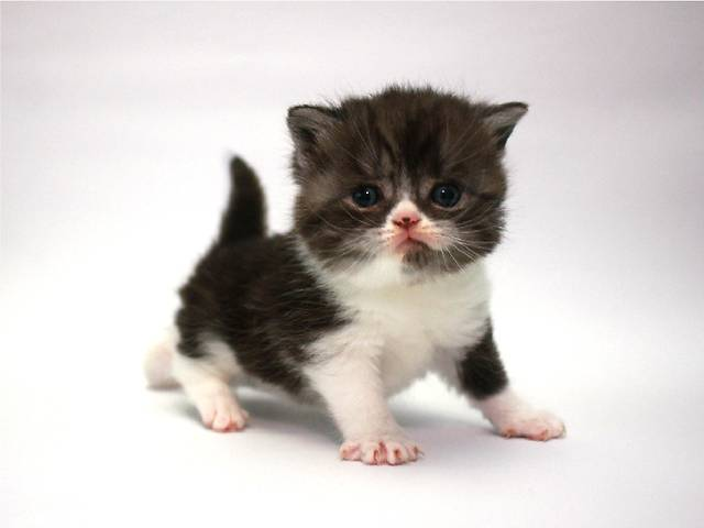 купить бу Шотландский котенок открыт для резервирования в Киеве