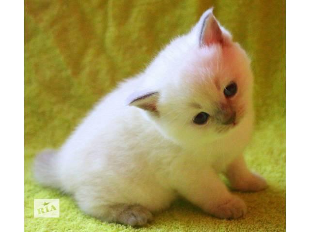 купить бу шотландский котенок в Киеве