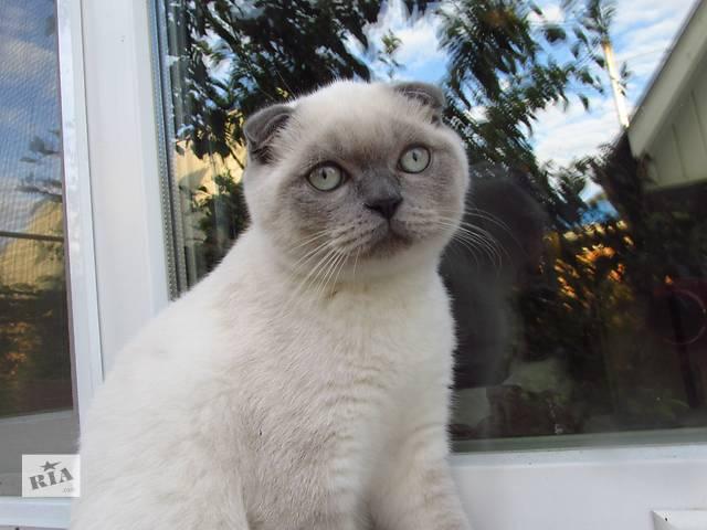купить бу Шотландский котик фолд в Полтаве