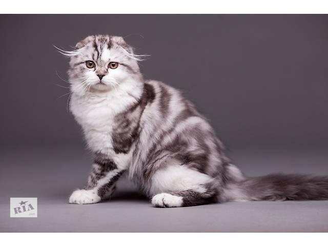 бу Шотландский котик в Каменском (Днепропетровской обл.) (Днепродзержинск)