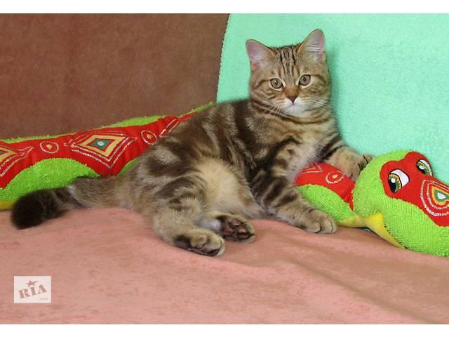 купить бу Шотландский мраморный плюшевый котенок. Шоколадная версия. Клубный малыш. в Киеве