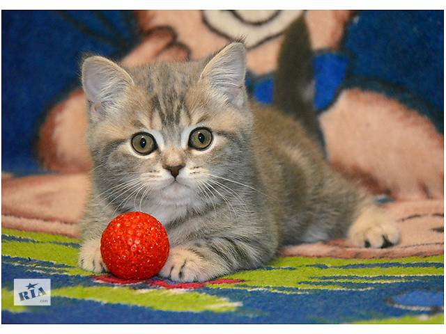 Шотландский мраморный прямоухий котенок- объявление о продаже  в Киеве