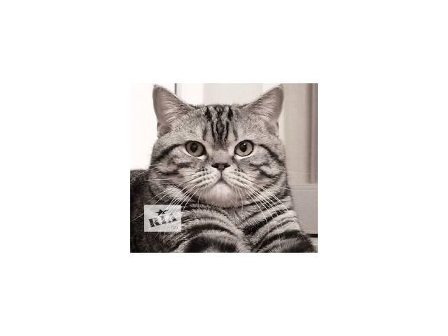 купить бу Шотландский прямоухий кот (скоттиш-страйт),  вязка шотландской вислоухой кошки, Киев Наш мачо Мартин скоттиш страйт шоу в Киеве