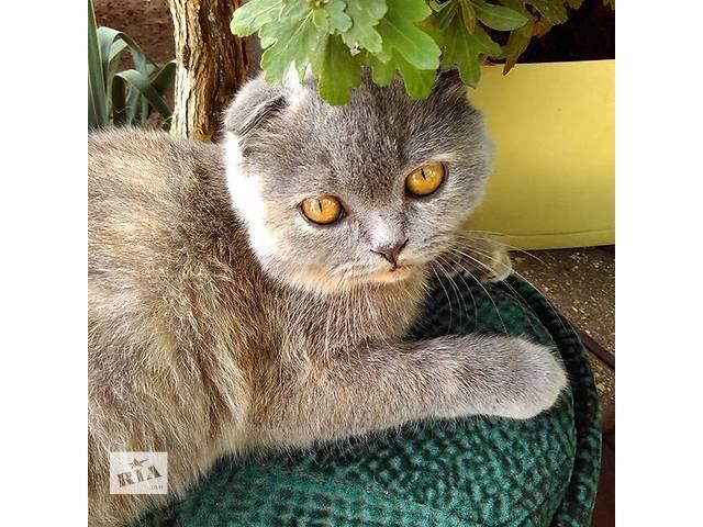 купить бу Шотландский вислоухий котенок девочка  в Киеве