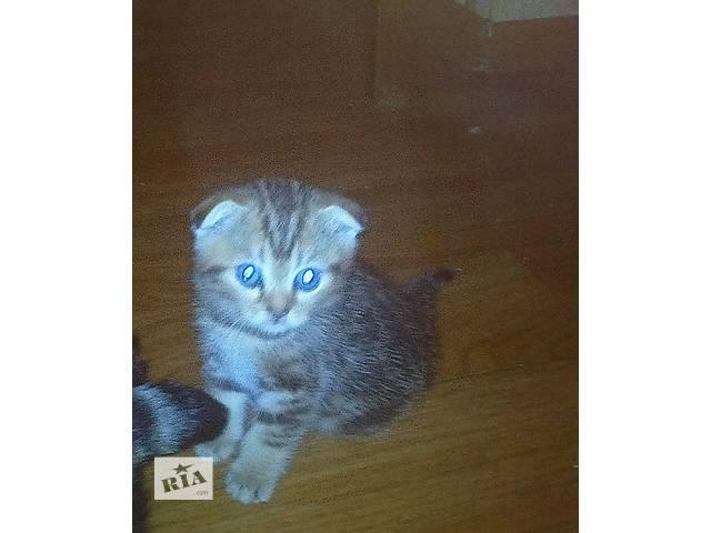 продам шотландский вислоухий котик бу в Донецке
