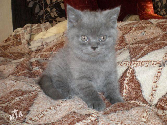 Британский кот - biofile.ru