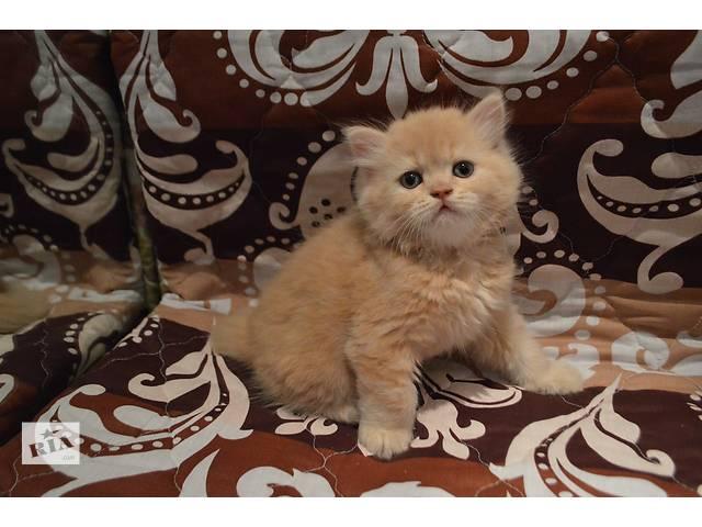 Шотландскиий котенок (Scottish straight) с документами- объявление о продаже  в Киеве