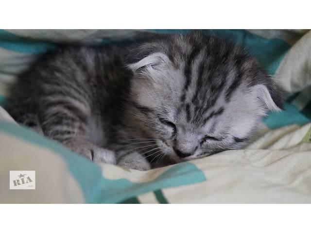 продам шотландские чистокровные котята (вислоушки , прямоушки) бу в Виннице