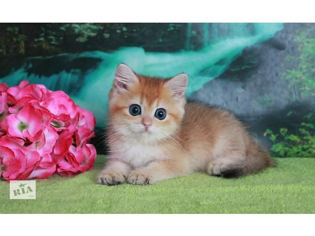 купить бу Шоу потенциал - котик золотой тикированный  в Донецке