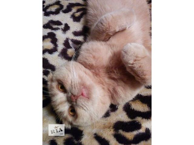 купить бу Шикарный кремовый котенок шотландской вислоухой! в Киеве