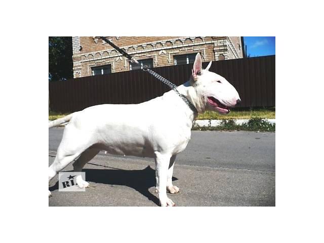 купить бу Шикарные щенки бультерьера белого окраса в Кропивницком (Кировограде)