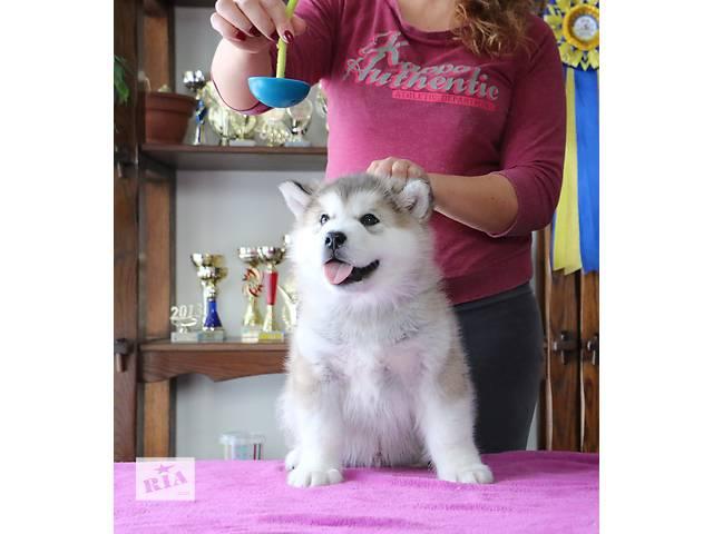купить бу Шикарные щенки Маламута в Ровно