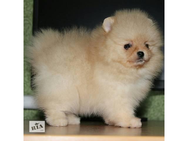 Шикарные щенки Померанского Шпица.- объявление о продаже  в Днепре (Днепропетровск)