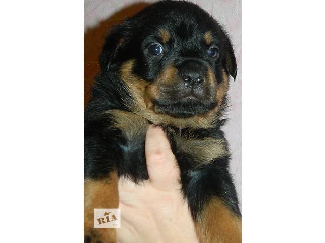 Шикарные щенки ротвейлера из питомника- объявление о продаже  в Днепре (Днепропетровск)