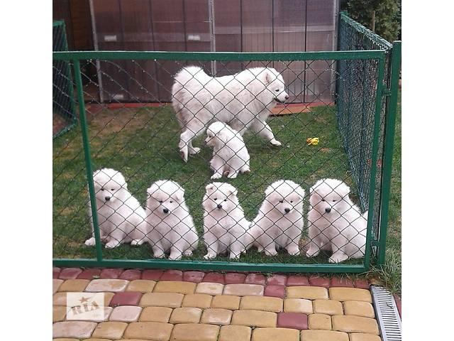 купить бу шикарные щенки самоедской собаки в Луцке
