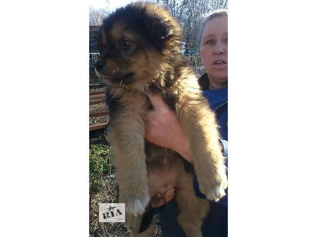 продам Шикарные щенки-богатыри в достойные руки на зависть соседям бу в Киеве