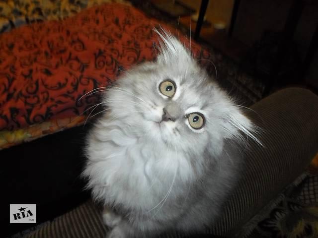 продам Шикарный котёнок шотландский хайленд бу в Николаеве