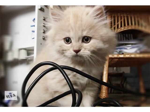 купить бу Шикарный кремовый котенок, scottish highland straight, 2 месяца в Хмельницком