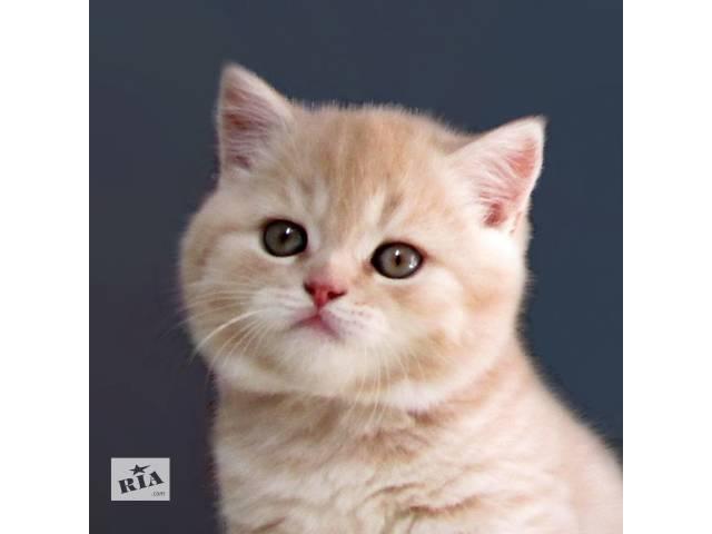 Шикарный кремовый котик - объявление о продаже  в Харькове