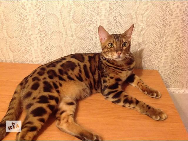 продам Шикарный леопардовый  мальчик бу в Киеве