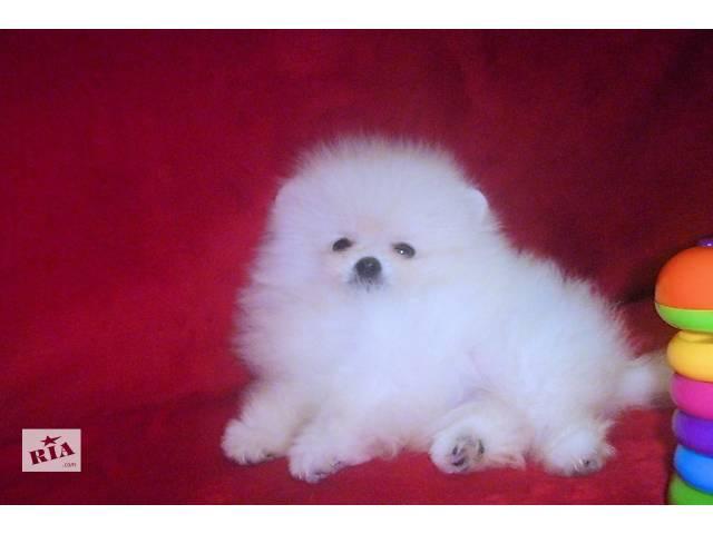 Белый померанчик тип мишка.Доставка- объявление о продаже  в Львове