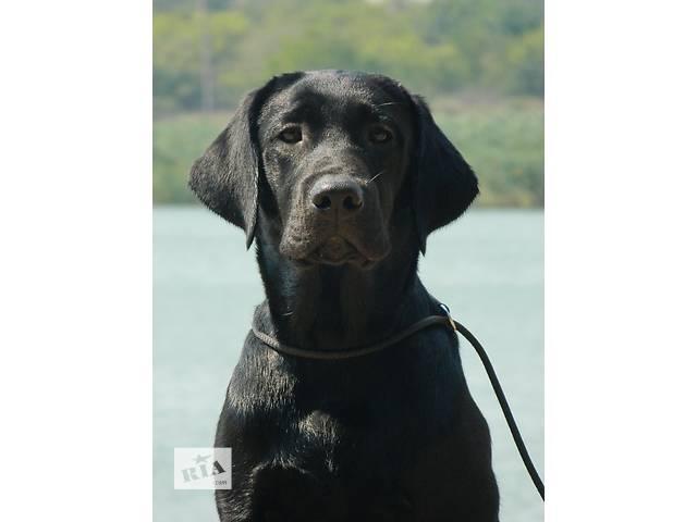 купить бу шикарный щенок лабрадора, мальчик черного окраса в Мариуполе (Донецкой обл.)