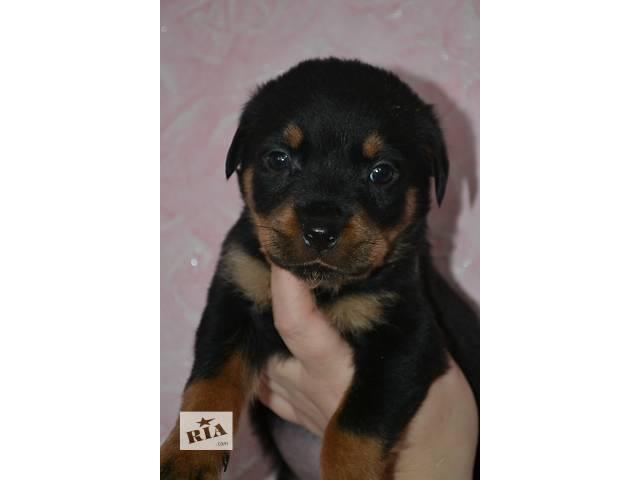Шикарный щенок ротвейлера- объявление о продаже  в Днепре (Днепропетровск)