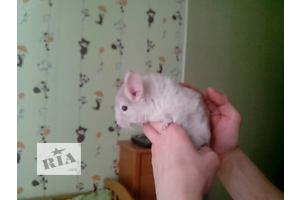 бу Шиншилла Харьков