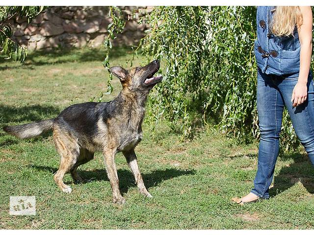 Собака размером с овчарку- объявление о продаже  в Киеве