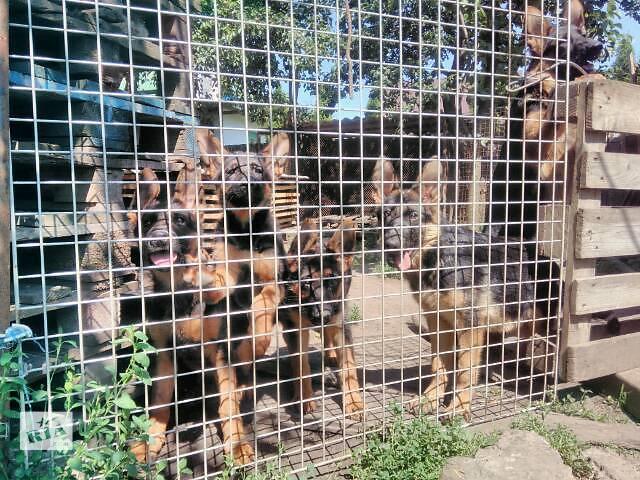 Собаки, щенки- объявление о продаже  в Тернополе