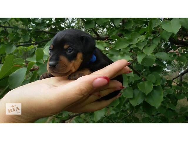бу Собаки, щенки в Днепре (Днепропетровске)