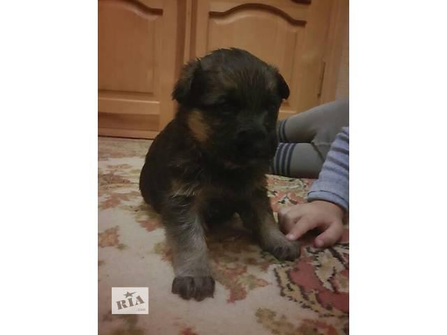 Собаки, щенки- объявление о продаже  в Одессе