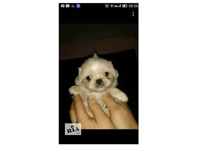 Собаки, цуценята- объявление о продаже  в Ровно